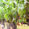 今、おすすめの南アフリカワインは? 最新版プラッターズ・ワインガイドを元に