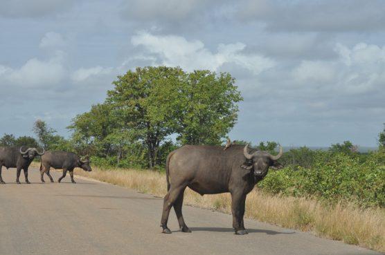 メイン道路で出会った水牛にギロリとにらまれる