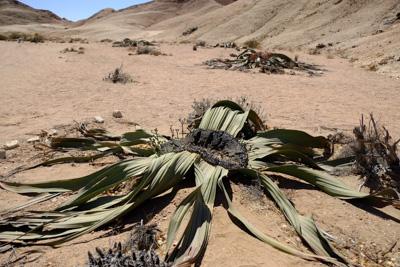 1504 welwitschia01