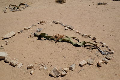 1504 welwitschia04